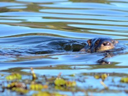 Lobitos en la Laguna del Diario