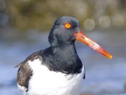 Nueva Guía de Aves de Punta del Este y Costa Serrana